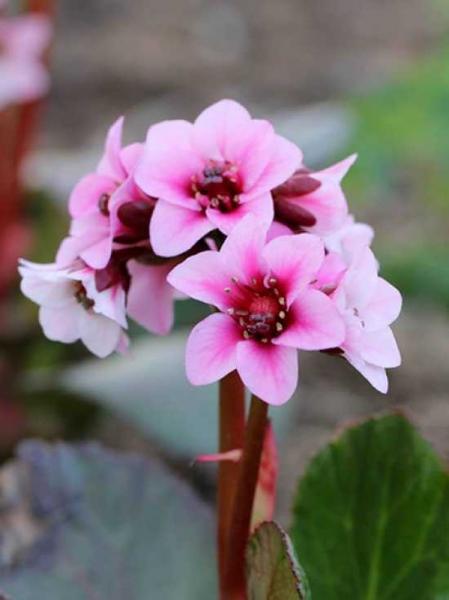 Bergenia cordifolia 'Dragonfly Sakura®' / Bergenie, Riesensteinbrech