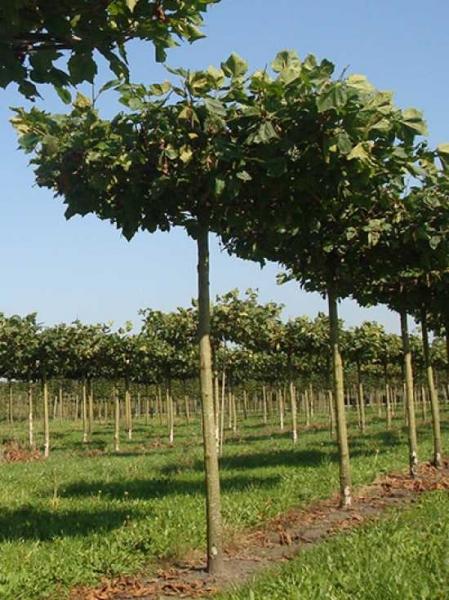 Platanus acerifolia 'Dachspalier' / Dach-Platane (270 cm Stamm)
