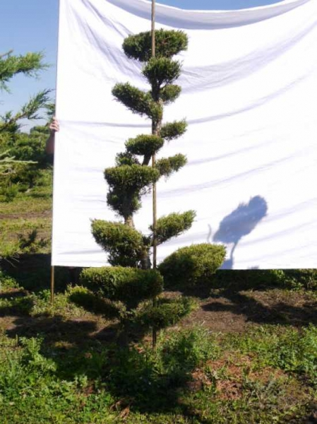 Juniperus media 'Hetzii' H: 190 cm B: 100 cm / Garten-Bonsai (301556)