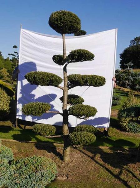 Abies koreana H: 260 B: 150 cm / Garten-Bonsai (0225)