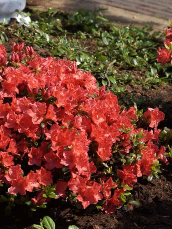 rhododendron obtusum 39 geisha orange 39 japanische azalee 39 geisha orange 39 g nstig kaufen. Black Bedroom Furniture Sets. Home Design Ideas