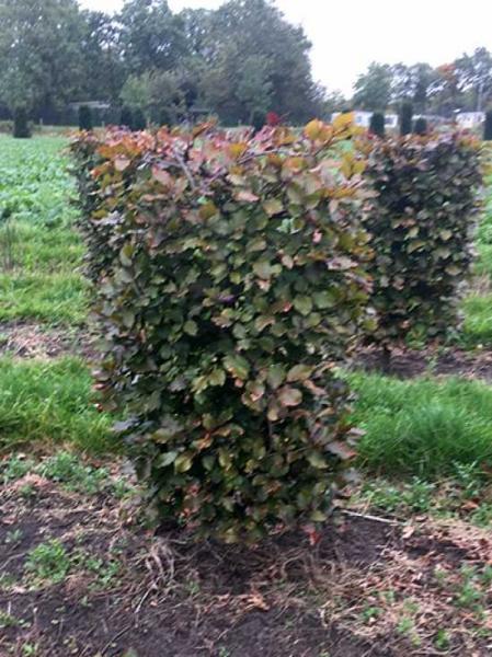 Fagus sylvatica 'Atropurpurea' / Blutbuche / Fertighecke / Heckenelement 100 cm x 50 cm x 50 cm