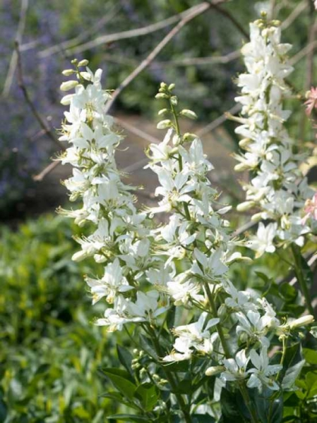 Dictamnus albus 'Albiflorus' / Weißer Brennender Busch