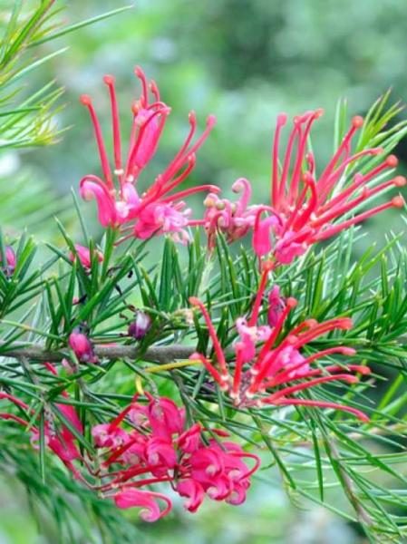 Grevillea rosmarinifolia / Rosmarin-Silbereiche