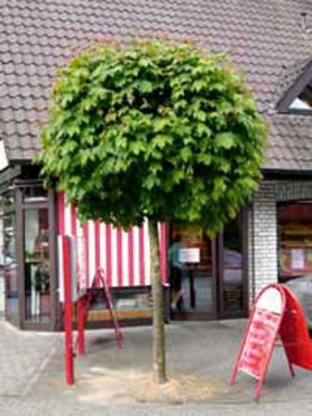 Acer platanoides 'Globosum' / Kugel-Ahorn