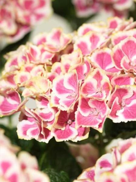 Hydrangea macrophylla 'Bavaria'® / Bauern-Hortensie 'Bararia'®