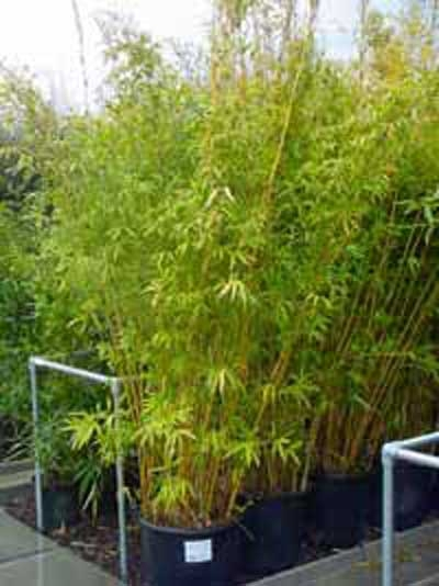 Phyllostachys aureosulcata 'Spectabilis' / Flachrohr-Bambus 250-300 cm im 35-Liter Container