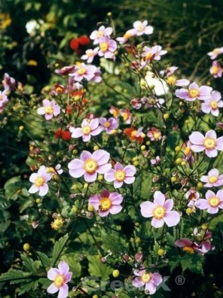 Anemone hupehensis / Herbst-Anemone