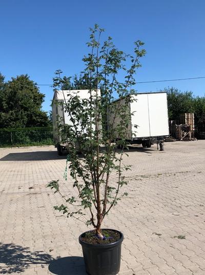 Acer griseum / Zimt-Ahorn 175-200 cm (546803)
