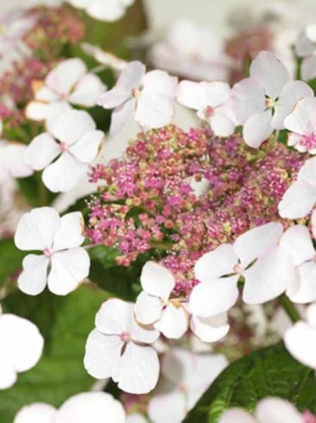 Hydrangea serrata 'Aigaku' / Teller-Hortensie 'Aigaku'