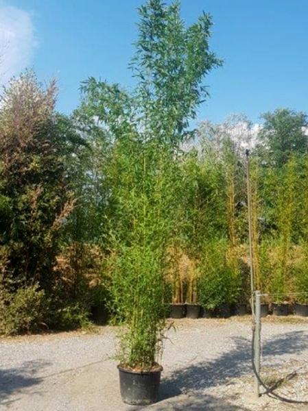 Phyllostachys aurea / Knoten-Bambus 300-350 cm im 50-Liter Container