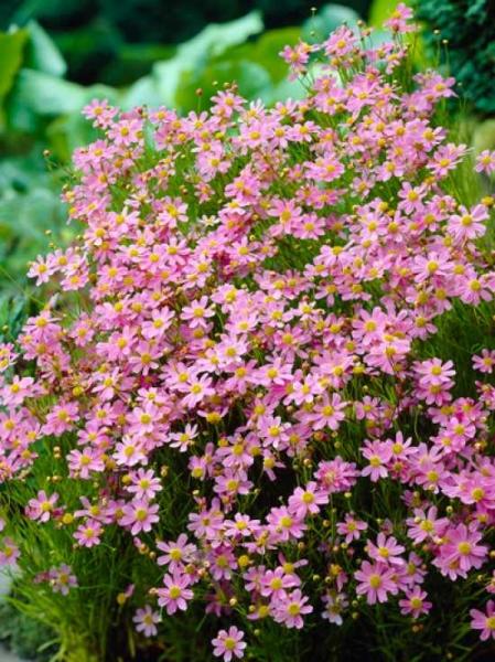 Coreopsis rosea 'American Dream' / Garten-Schönauge