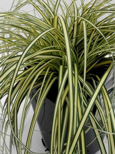Carex oshimensis 'Eversheen' / Gartensegge 'Eversheen'
