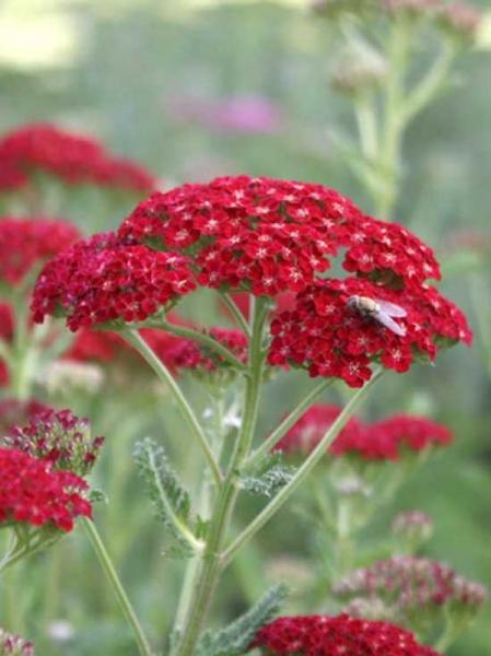 Achillea millefolium 'Red Velvet' / Garten-Schafgarbe 'Red Velvet'