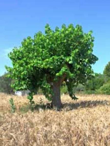 morus alba weisser maulbeerbaum guenstig bestellen