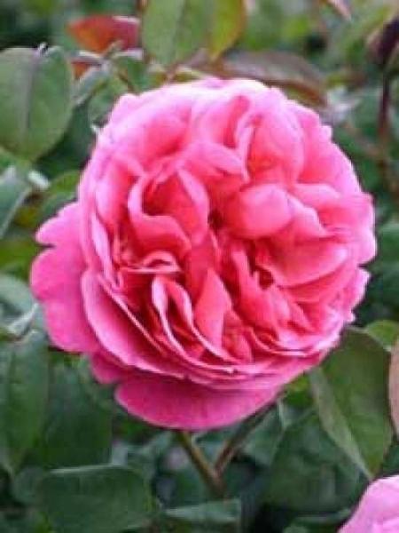 Rosa 'Elbflorenz ®' / Stammrose 'Elbflorenz'