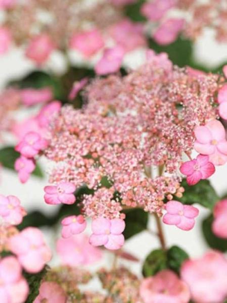 Hydrangea serrata 'Autumn Fire' / Teller-Hortensie 'Autumn Fire'