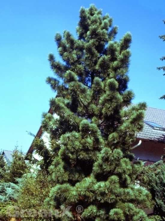 Pinus koraiensis 39 silveray 39 korea kiefer 39 silveray - Kiefer baum kaufen ...
