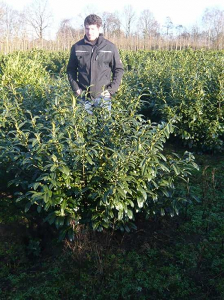 Prunus laurocerasus 'Schipkaensis Macrophylla' / Kirschlorbeer 'Schipkaensis Macrophylla' 100-125 cm mit Ballierung