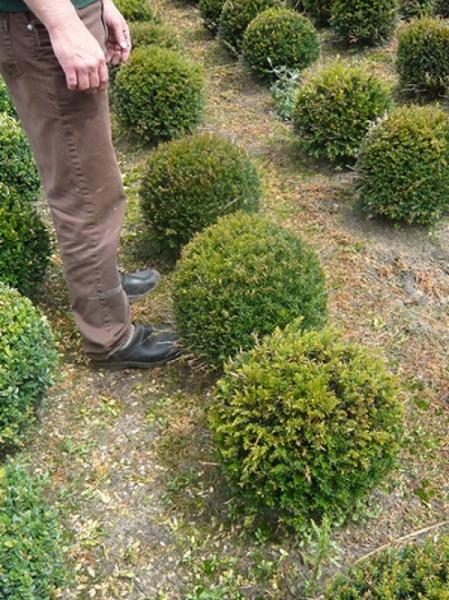 Taxus baccata 'Kugel' / heimische Eibe 'Kugel' 35-40 cm mit Drahtballierung