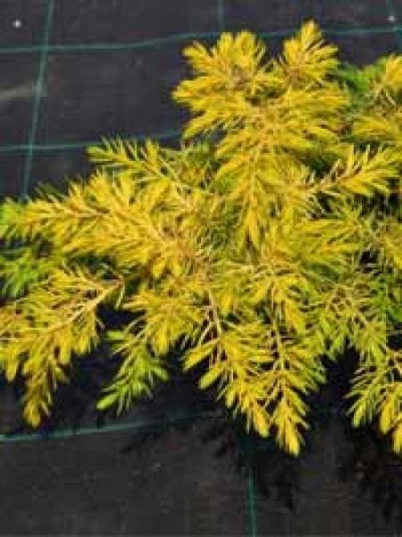 Juniperus conferta 'Allgold' / Gelber Kriech-Wacholder 'Allgold'