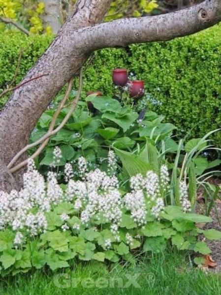 Crambe cordifolia / Riesen-Schleierkraut