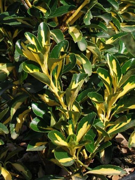 Euonymus japonicus 'Medio-pictus' / Japanischer Spindelstrauch 'Medio-pictus'