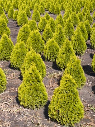 Thuja occidentalis ' Golden Smaragd' / Lebensbaum 'Golden Smaragd' 60-80 cm mit Ballierung
