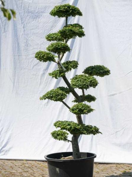 Ulmus minor 'Jacqueline Hillier' H: 160 cm B: 70 cm / Garten-Bonsai (575)