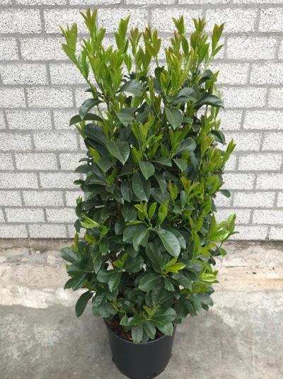 Prunus laurocerasus 'Etna' / Kirschlorbeer 'Etna' 100-125 cm im 20-Liter Container