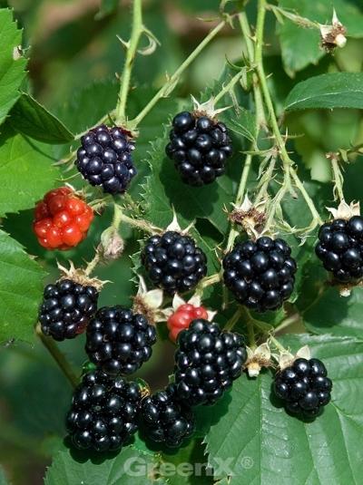 Rubus fruticosus 'Himalaya' / 'Theodor Reimers' / Brombeere 'Himalaya' / Brombeere 'Theodor Reimers'