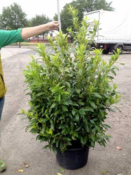 Bevorzugt Prunus laurocerasus 'Herbergii' / Kirschlorbeer 'Herbergii' 125 LW75