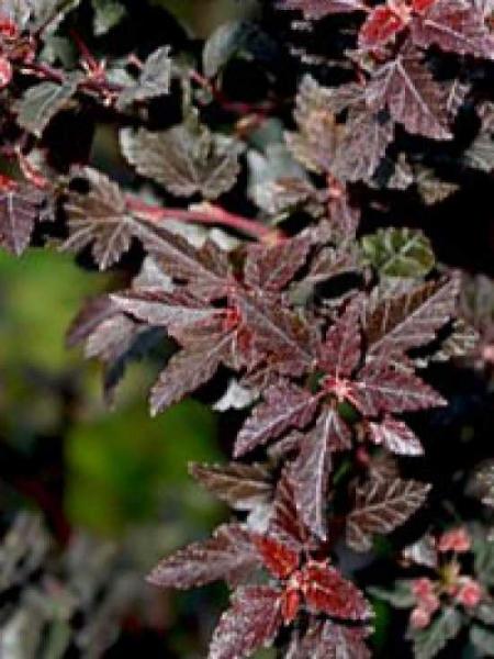 Physocarpus opulifolius 'Little Devil ®' / Blasenspiere 'Little Devil'
