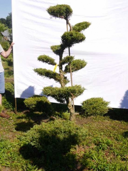 Juniperus media 'Hetzii' H: 200 cm B: 120 cm / Garten-Bonsai (301551)