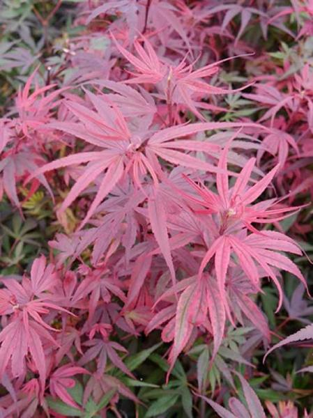 Acer palmatum 'Shaina' auf Stamm / Japanischer Ahorn / Fächerahorn 'Shaina'