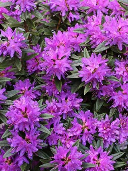 Rhododendron russatum 'Azurwolke' / Rhododendron 'Azurwolke'