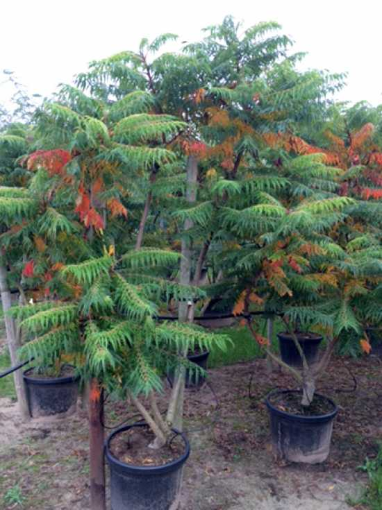rhus glabra 39 laciniata 39 geschlitzter essigbaum g nstig bestellen baumschule new garden. Black Bedroom Furniture Sets. Home Design Ideas