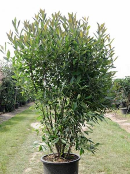 Aronia arbutifolia 'Erecta' / Aufrechte Rote Apfelbeere
