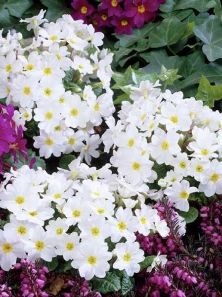 Primula 'Sneeuwwitje' / 'Schneewittchen' / Teppich-Primel