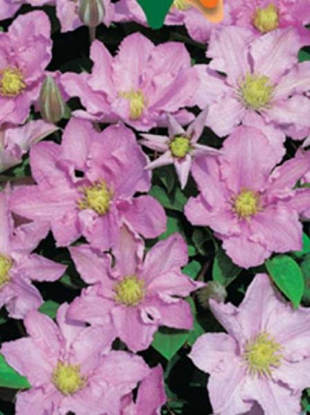 Clematis Hybride 'Pink Celebration' / Waldrebe 'Pink Celebration'