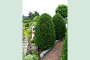 Taxus_baccata818