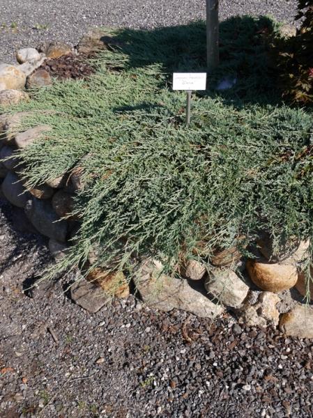Juniperus horizontalis 'Glacier' / Zwerg-Kriechwacholder 'Glacier'