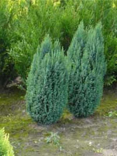 Chamaecyparis lawsoniana 'Ellwoodii' / Blaue Kegelzypresse / Blaue Mooszypresse