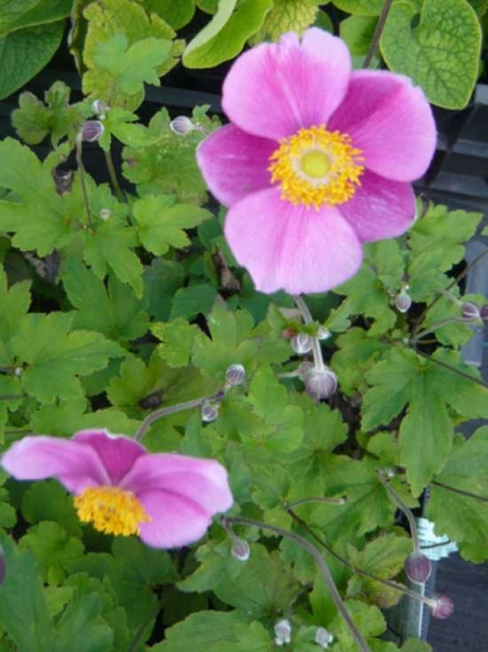Anemone hupehensis 'Hadspen Abundance' / Garten-Herbst-Anemone