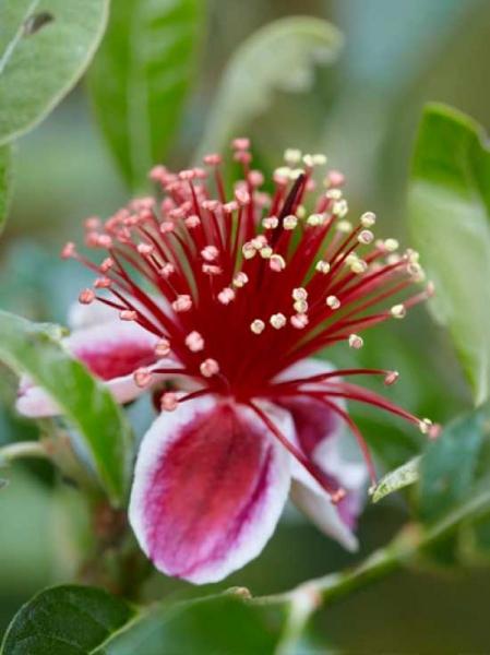 Acca Sellowiana Brasilianische Guave Ananas Guave Günstig Kaufen
