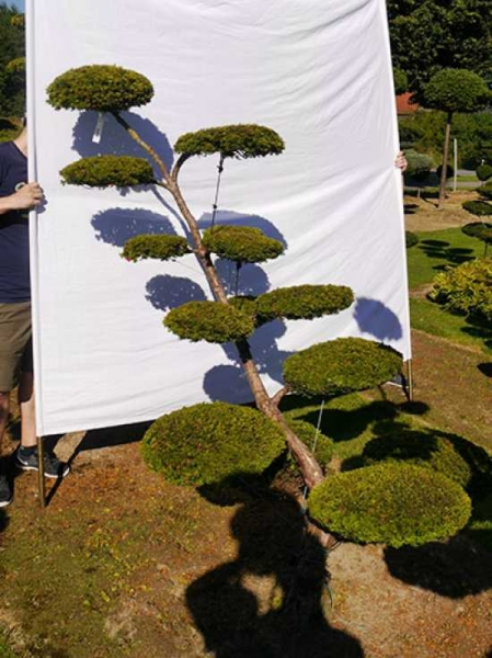 Taxus baccata 'Semperaurea' H: 200 cm B: 160 cm / Garten-Bonsai (0146)