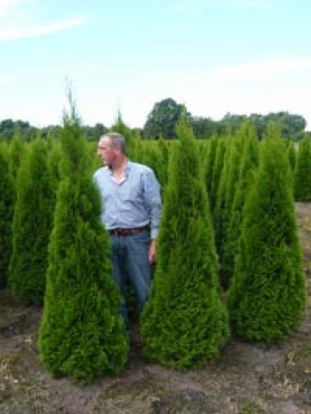 Thuja occidentalis 'Smaragd' / Lebensbaum 'Smaragd' 180-200 cm mit Ballierung