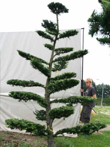 Larix decidua H: 300 cm B: 180 cm / Garten-Bonsai (801110)
