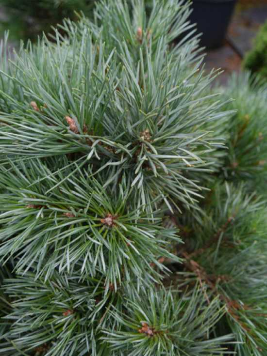 blaue Waldkiefer Kamon Blue Pinus sylvestris Kamon Blue