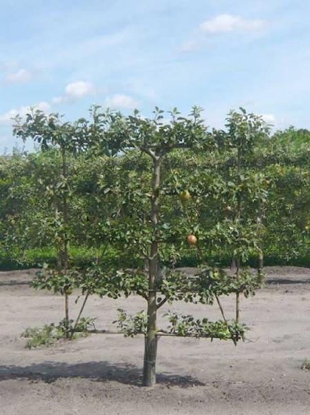 Malus domestica 'Notaris' / Apfel Notaris 'Boden-Spalier' H:160 B:160 T:20 (Stamm 50 cm)